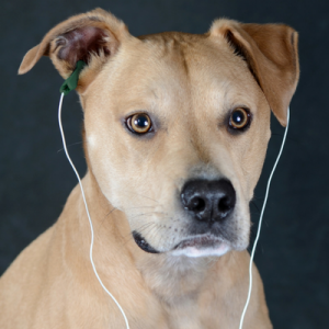 Image of a dog wearing Alpha-Stim Earclips