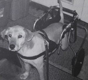 Dog with rear legs in wheelchair
